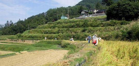 米澤酒造さん秋の稲刈り6