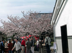 菊石酒蔵開放桜満開(1)